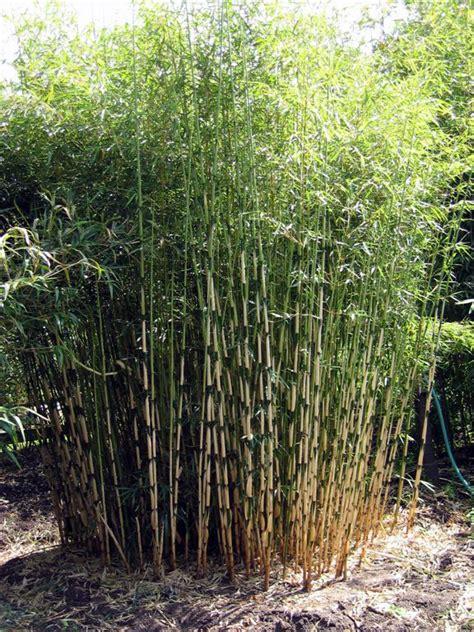 bambus le fargesia jiuzhaigou