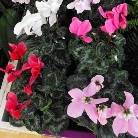 Houseplants For Low Light Areas cyclamen persicum growing and care instructions