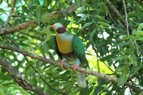 fruit dove yellow bibbed fruit dove junglekey in image