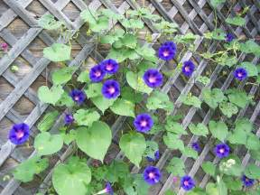 Fast Growing Climbing Plants For Trellis - the orthodox stitcher morning glories