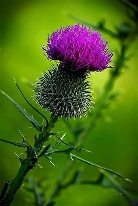 edinburgh tattoo flower of scotland 2187 best thistle things heather highlights images on