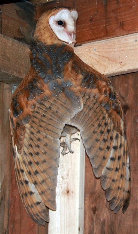 update with photos 9 orphaned owls returned to wild knkx