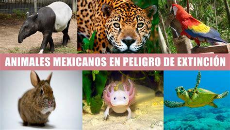 imagenes animales y plantas en peligro de extincion 10 animales mexicanos en peligro de extinci 243 n regeneraci 243 n