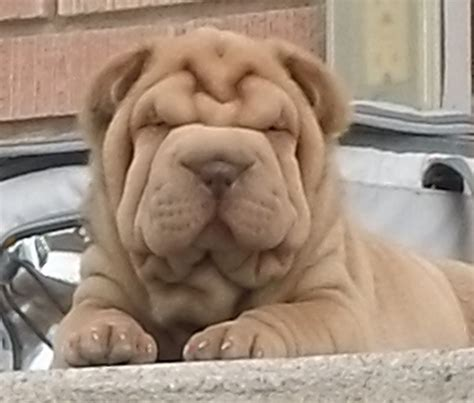blue shar pei puppies for sale mini shar pei puppies for sale