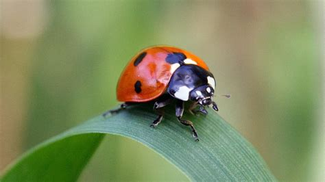 how many legs does a bed bug have how many legs does a lady bug have reference com