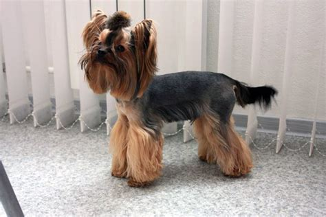 how many types of yorkies are there females yorkie haircuts pictures for summer