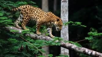 Image Of A Jaguar Jaguar