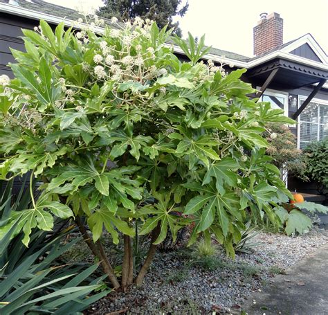 danger garden fatsia japonica my favorite plant in the