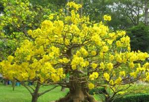 pretty trees pretty tree with yellow flowers pictures photos and