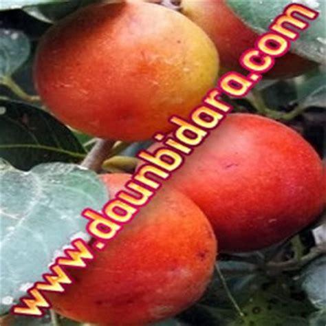 Bibit Pohon Zaytun Bidara Dan Tin Sepaket 3 Pohon kandungan kimia daun bidara jual bibit pohon bidara daun bidara harga murah