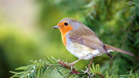 doves hd wallpaper 557370 jpg birds bird desktop beautiful wallpapers background 1485534
