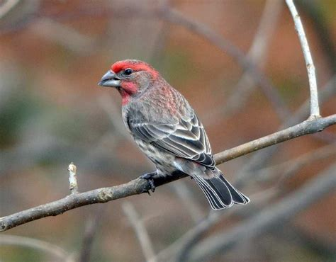 picture of house finch female house finch