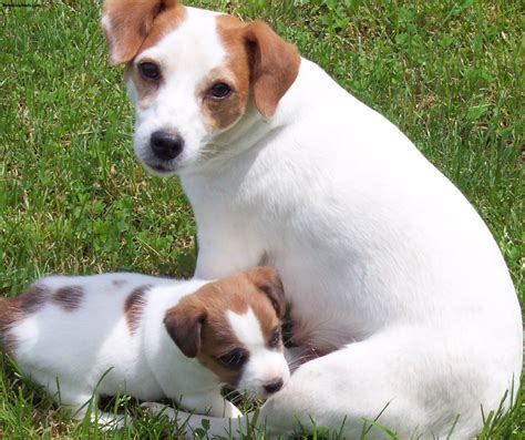 imagenes of jack russell jack russell terrier pictures information temperament