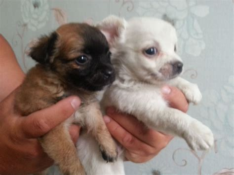 chihuahua puppies for sale chihuahua puppies for sale southton hshire