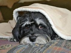 havanese rescue mn havanese puppies on havanese puppies havanese dogs and adoption