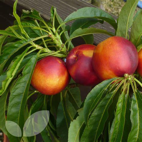 nectarine tree nectarine flavour top master