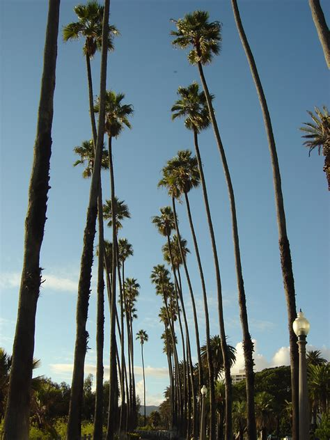 California Palm file santa palm trees jpg wikimedia commons