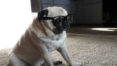 pug with glasses pugs with glasses pug jokes