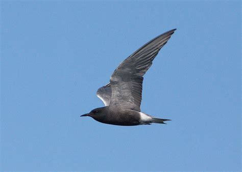 black tern available at 3500 x 2300 ppi
