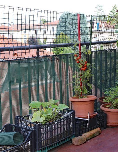 pianta di vite in vaso pianta di vite in vaso pianta di uva vite innestata da