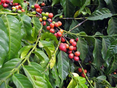 Bibit Kopi Coklat pengendalian hama dan penyakit tanaman kopi rizal mulyadi