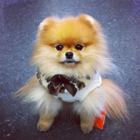 miniature teddy pomeranian puppies teddy pomeranian dogs pictures to pin on pinsdaddy