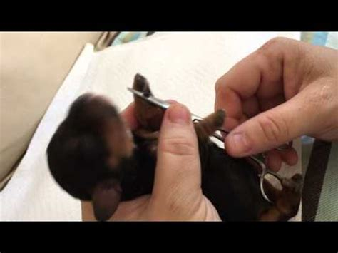 yorkie dew claw removal painless and dew claw removal doovi