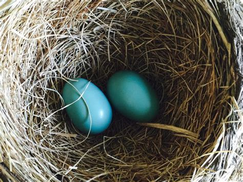 best 28 robin egg hatching 2015 best 28 how after