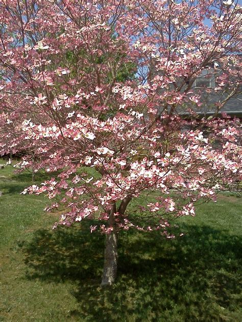 pink dogwood tree on my route flowering trees pinterest