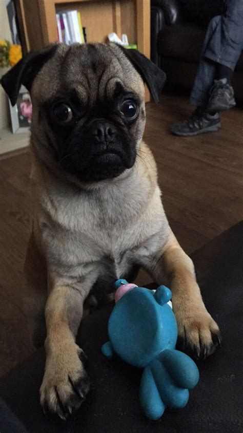 pug wanted black pug wanted rochdale greater manchester pets4homes