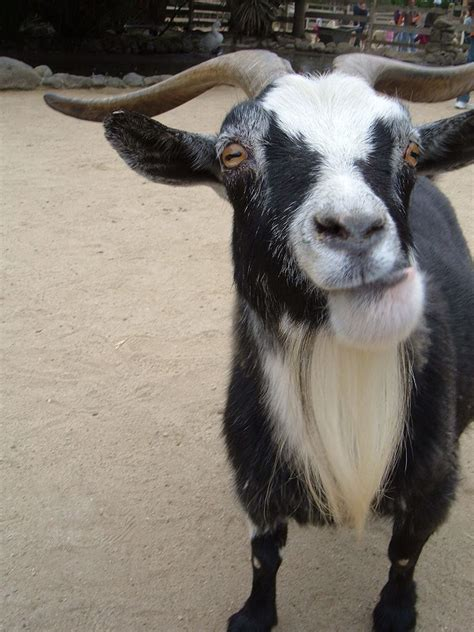 horny goats give  eau de male scent  turn  females