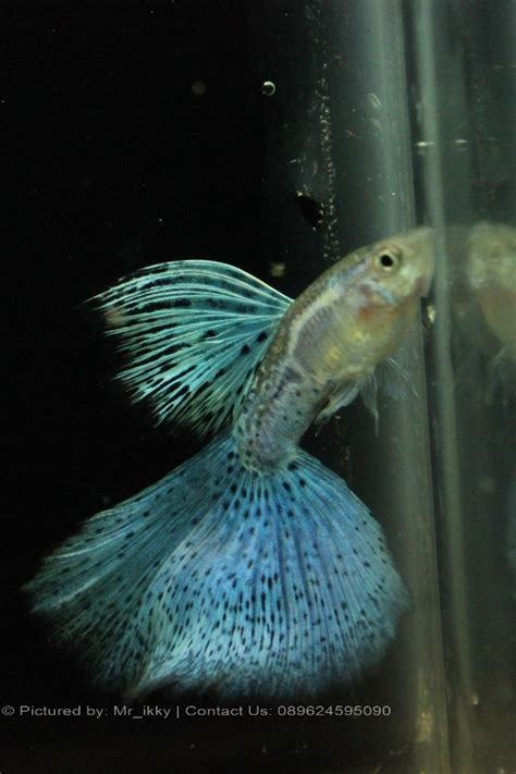 Guppy Blue Lace Grade B 1 Pair Import guppy blue grass sale guppy fish indonesia