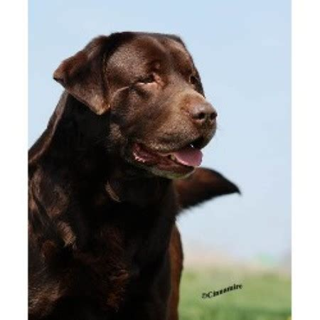 lab puppies florida labrador retriever breeders in manitoba breeds picture