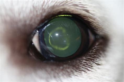 cataracts in golden retrievers lens doorverwijspraktijk oogheelkunde