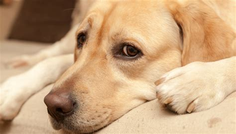 sedatives for dogs the risks of using ace as a sedative for fearful dogs puppy leaks