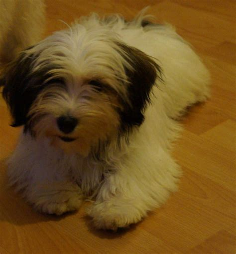 havanese puppies for sale indiana puppies for sale havanese in delta colorado breeds picture
