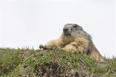 i have a groundhog in my backyard how to get rid of a groundhog in my backyard 28 images