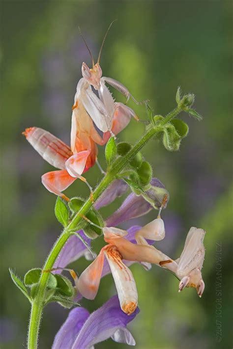 orchid mantis i pinterest
