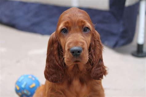 red setter dog rehoming kc reg quality irish setter puppies dumfries