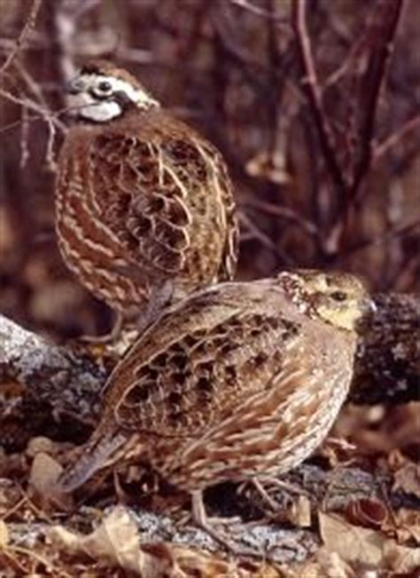 1000 images about bobwhite quail on pinterest tennessee