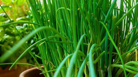 coltivare piante aromatiche in vaso piante aromatiche in vaso guida alla coltivazione sul balcone