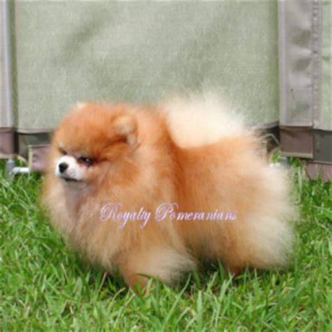 pomeranian puppies for sell pin pomeranian yorkie puppies for sale buy sell ajilbabcom portal on
