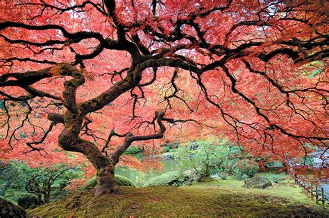 your guide to pruning japanese maple 11 essential steps