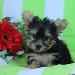teacup puppies for sale in pa 300 yorkie puppies for sale
