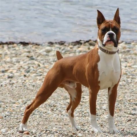 Medium Sized Dog Breeds With Short Hair Animals Photos