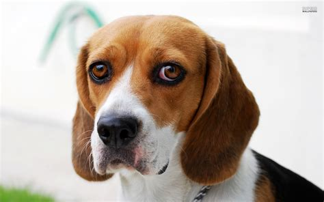 beagle dogs beagle guilty wallpapers and images wallpapers pictures photos