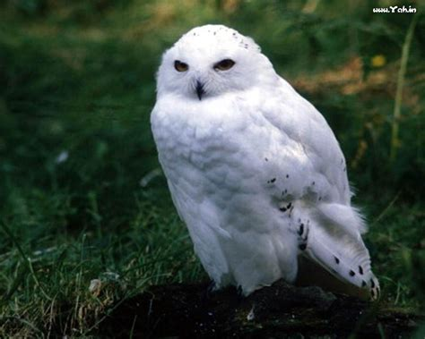 Piyama Owl Blue Piyama Owl white owl wallpapers wallpaper cave