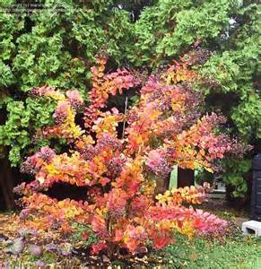 crape myrtle colors crape myrtle pink velour fall color privacy