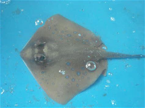 Krupuk Ikan Kakap kerupuk kulit ikan nila kakap patin hiu pari kerupuk