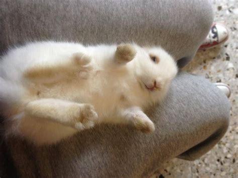alimentazione conigli nani coniglio nano testa di conigli nani